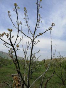 روش جلوگیری از سرمازدگی درختان گردو